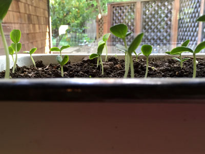 seedlings planted in compost